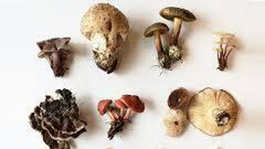 Foraging for Mushrooms - Suzanne Campbell