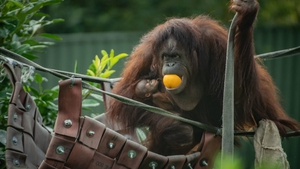 Chester Zoo says the new arrival is 'bright and alert' and is suckling well from mum