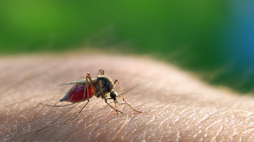 A mosquito sucking blood