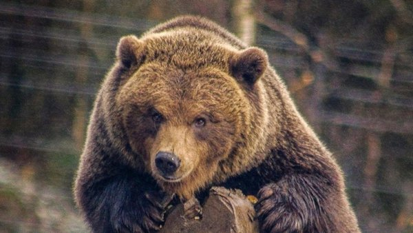 The five-year-old brown bear had been rescued from Lithuania