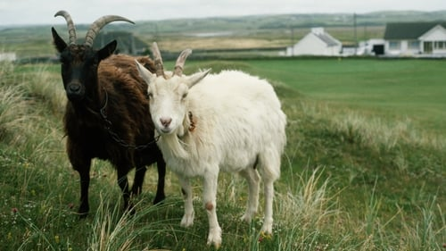 Carrig mheannáin (kids rock) tells us nothing of about how awesome local children may be, but it does say something about goat husbandry. Photo: Getty Images