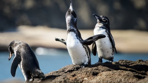 The Galapagos penguin is one of the smallest species of penguins in the world, measuring up to 35cms