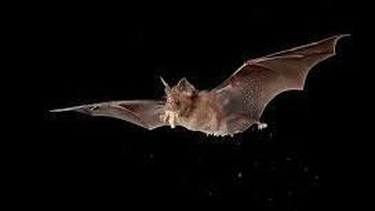Naturefile -Hibernating Bats