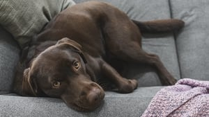 A research team led by the Francis Crick Institute sequenced the genomes of 27 dogs (stock image)