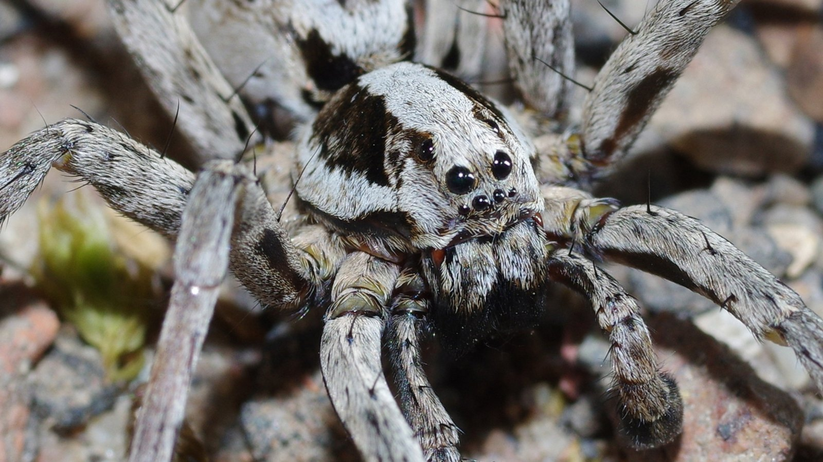 First sign of critically endangered spider in 25 years