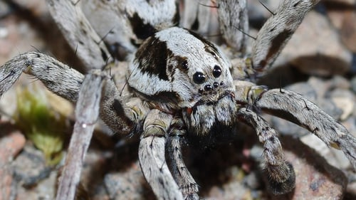 The spider had not been seen since the early 1990s