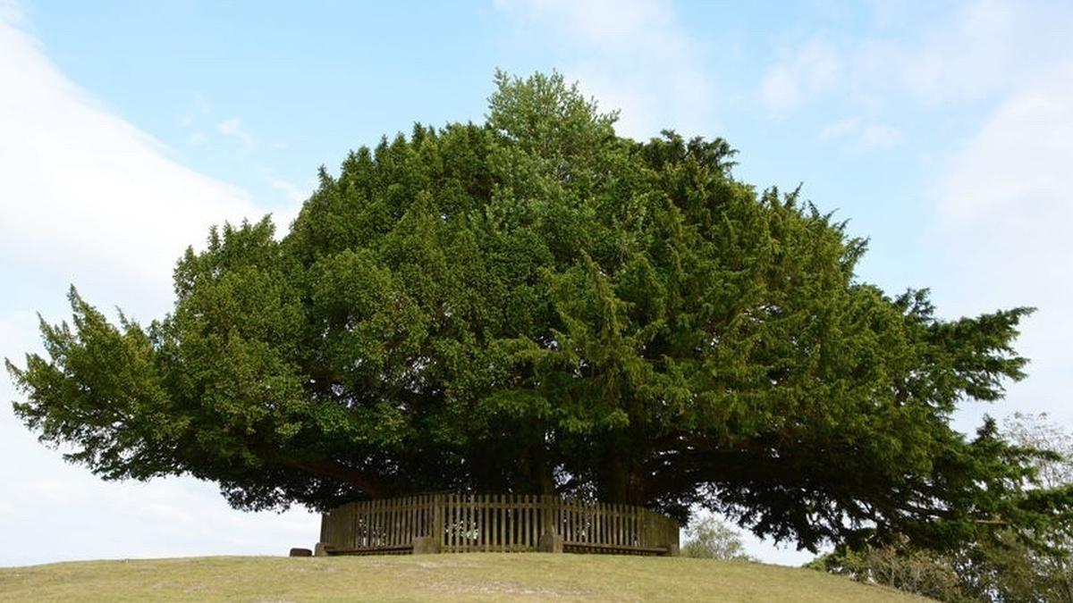 Naturefile - Yew trees