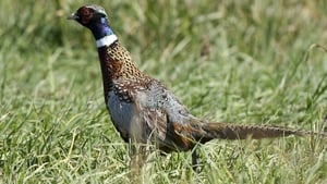 The start of the annual pheasant shooting season was due to begin yesterday (File pic)