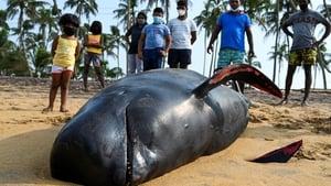 Locals surround a dead pilot whale on a beach in Panadura, Sri Lanka
