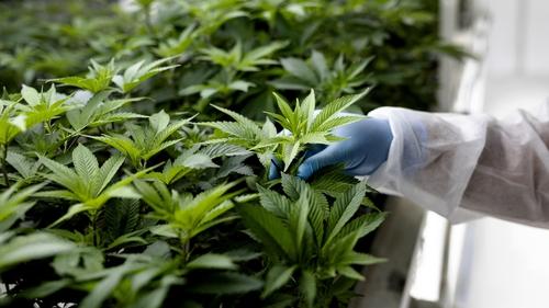New Zealanders have rejected the idea of legalising marijuana
