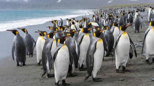 King penguins on the island of South Georgia