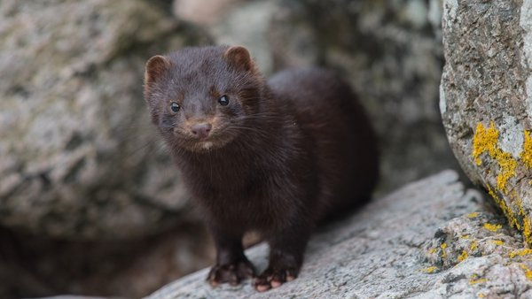 The EU's disease control agency said Covid-19 can spread from humans to minks and vice versa