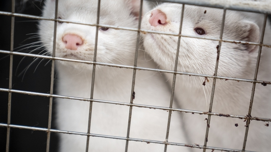 Danish agriculture minister resigns after mink cull