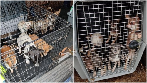 Among the dogs seized were a number of Chihuahuas, Jack Russells and Pugs