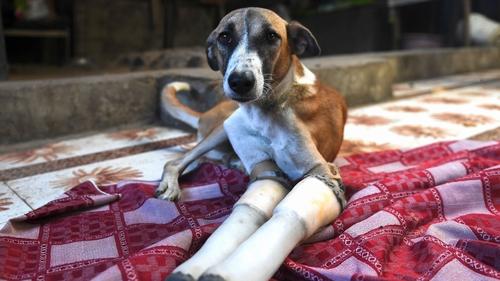 Rocky learned to walk again on prosthetic legs