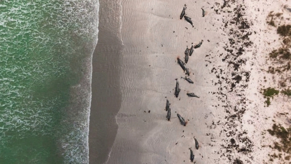 97 whales and three dolphins died in the strandings