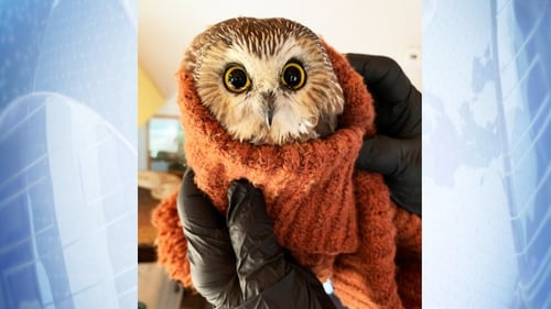 Rocky the owl had been nestled inside the Christmas tree for days having weathered the long trip without food or water (Pic: Ravensbeard Wildlife Center)