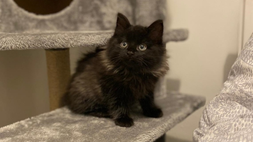 Tiny kitten Pancho, later renamed Kevin, who was rescued from under a car engine