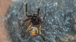 Research shows spiders can transmit harmful bacteria through their fangs
