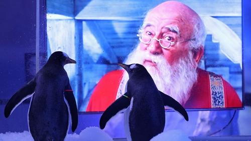 Gentoo penguins get into the Christmas spirit at Sea Life London Aquarium