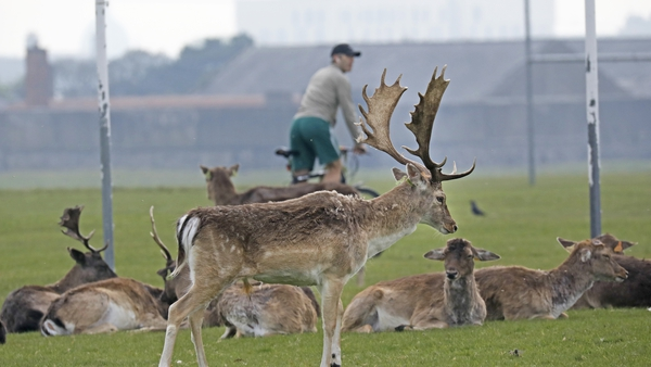 The Phoenix Park has a herd of around 600 wild fallow deer which graze on its 707 hectares of grass
