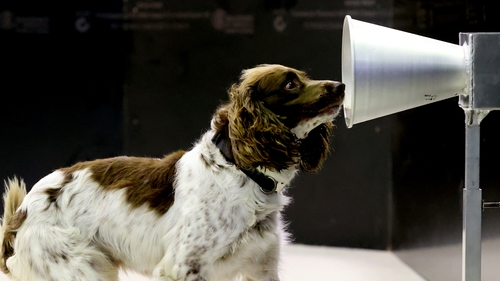 English Springer Spaniel Floki, aged one, is among the dogs in the Australian study