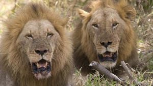 Authorities are investigating how the lions became infected (File pic)