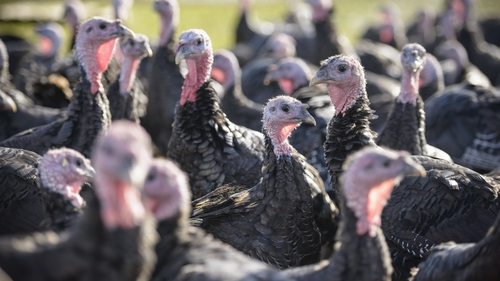 The flock of turkeys has been killed (File image)