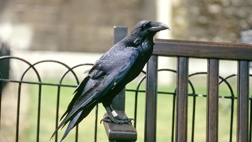 Legend has it that the Tower must maintain six ravens or else the tower and the kingdom will fall