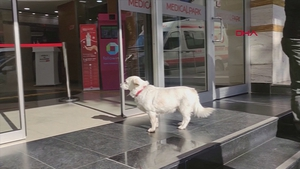 Boncuk waited patiently outside the hospital while her owner was getting treatment in Trabzon, Turkey