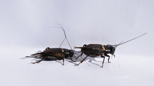 Traffic noise could lead to female crickets selecting a lower quality male to mate with