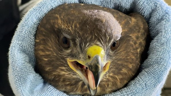 An injured buzzard was one of the first patients to arrive