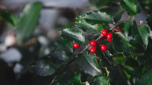 Mistletoe is actually a parasite and has an unusual feeding strategy, according to new research