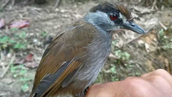 The Black-browed Babbler has only ever been documented once (Pic: Birdpacker)