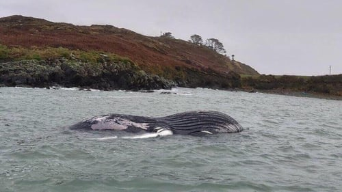 It is thought a full post-mortem examination to establish how the whale died will not be possible (Image: Robbie Shelly and Helen Tilson)