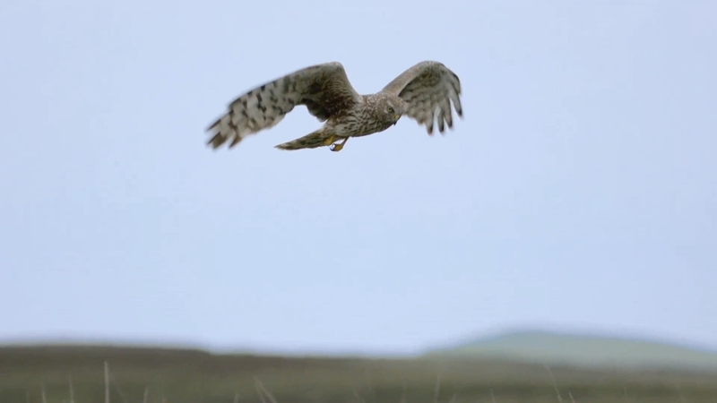 'The Hen Harrier Project EIP' ainm an tionscnaimh.