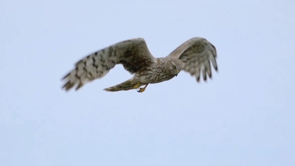 There are only an estimated 108-157 hen harriers in Ireland