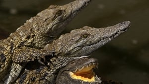 Thirty-four juvenile Nile crocodiles, each as long 1.5 metres, have been captured so far (File image)