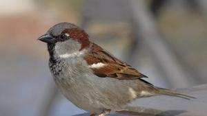 Naturefile - House Sparrows
