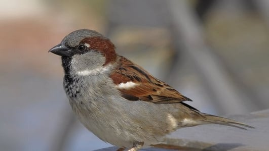 Naturefile - House Sparrows - New series!