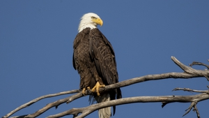 The eagle's population crashed to an all-time low of 417 known nesting pairs in 1963 - not counting Alaska and Hawaii