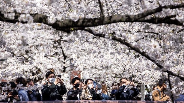 Crowds at cherry blossom trees Tokyo