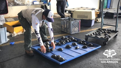 Trafficking fauna off the Galapagos Islands is a crime punishable by between one and three years in prison (Pic: Aeropuerto Ecológico de Galápagos)