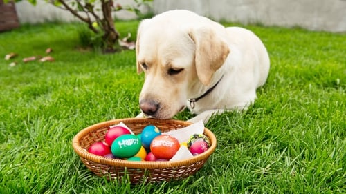Pet owners should be aware of the signs of chocolate toxicity in a dog