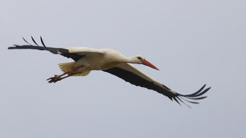 In August 2018, 72 white storks died over three days (file image)