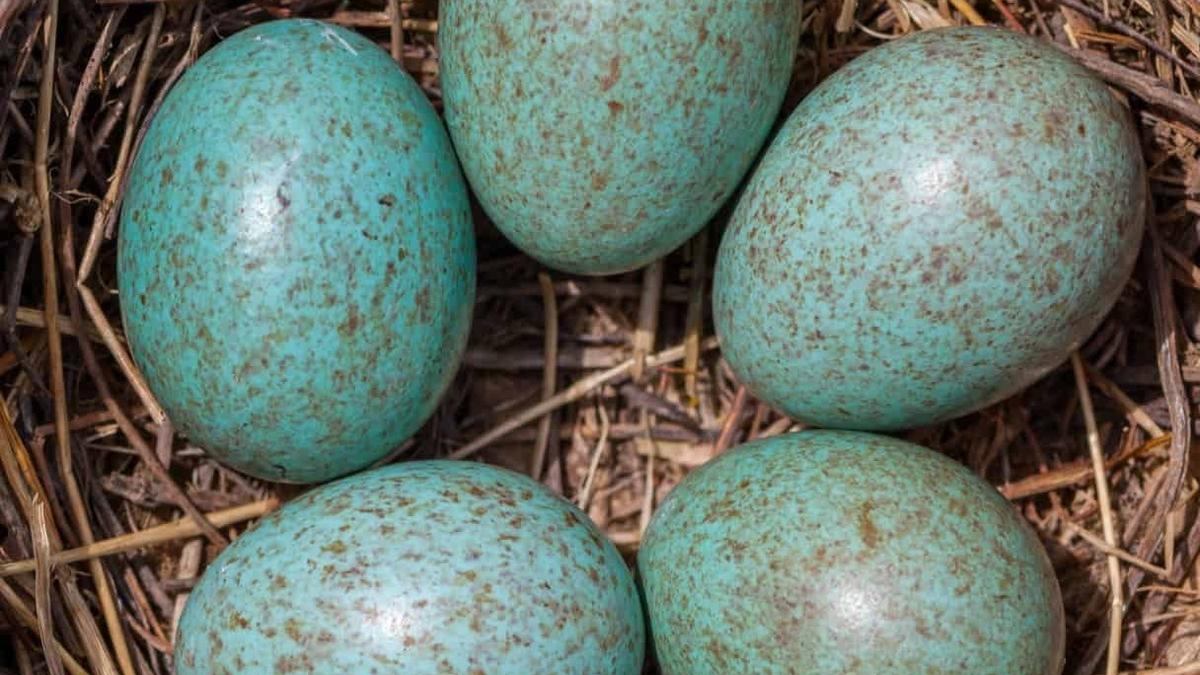 Naturefile - Eggs