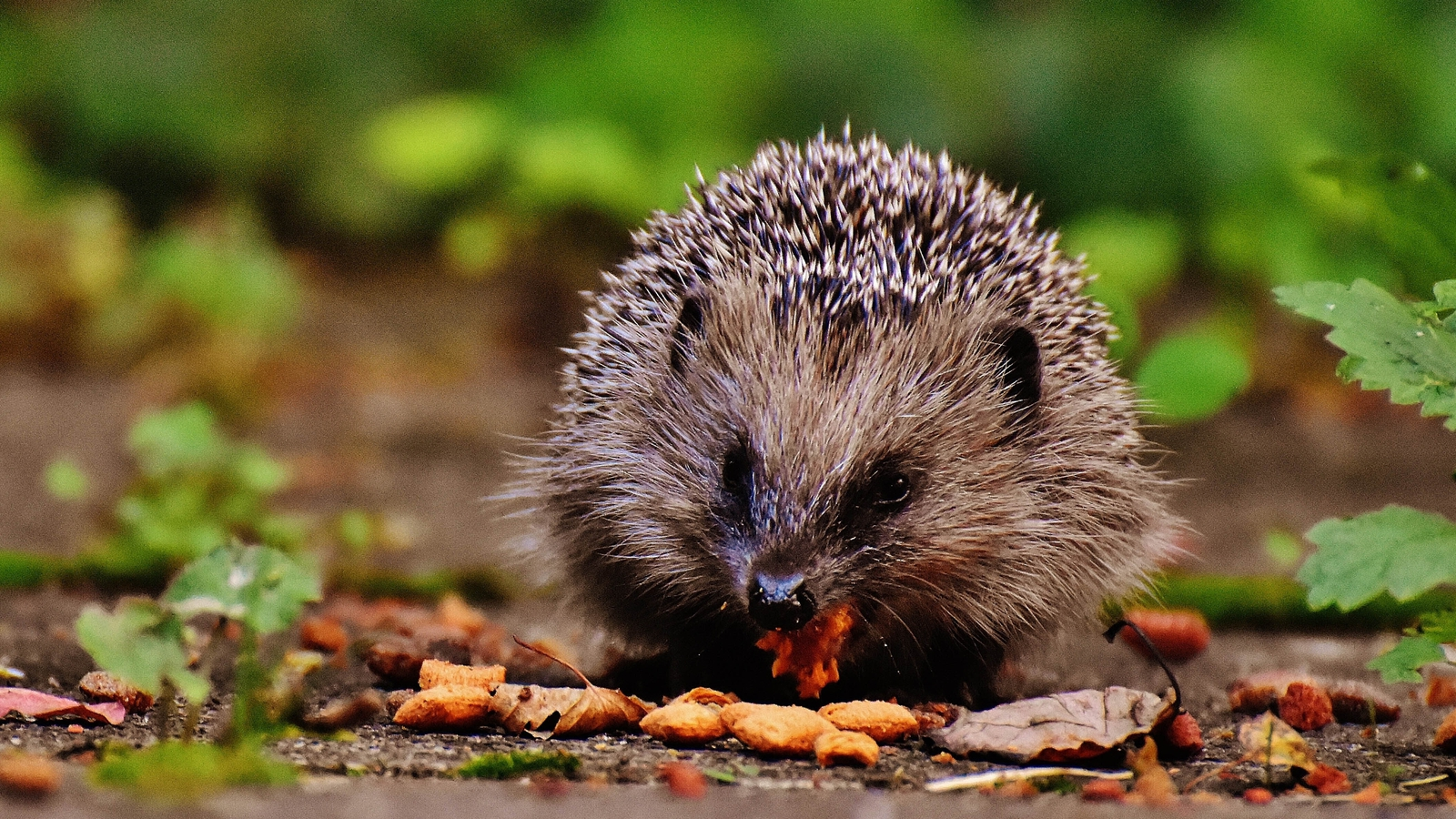 Call-out for volunteers to count hedgehogs for survey