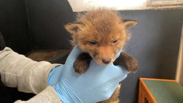 A fox cub is treated at the Wildlife Rehabilitation Ireland hospital in Co Meath