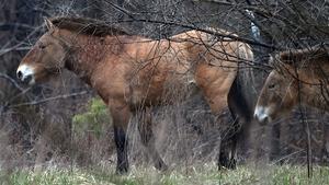 The Przewalski's horse breed breed is named after Russian scientist Nikolai Przewalski