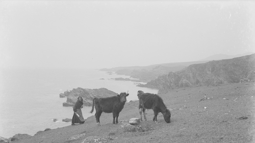 An Irish woman driving cattle on Achill Island, Co Mayo 1900-1920 (Reproduced courtesy of National Library of Ireland)